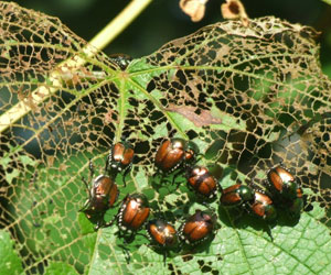How to Get Rid of a Japanese Beetle Infestation - Learn How to ...