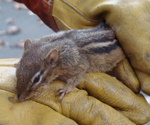 How Much Does It Cost To Get Rid Of Chipmunks Chipmunk