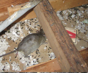 Do I Have Rats In My House Signs That You Have A Rat