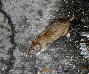 how to get rid of rats singapore